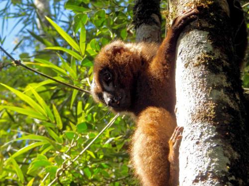Madagascar - les lémuriens