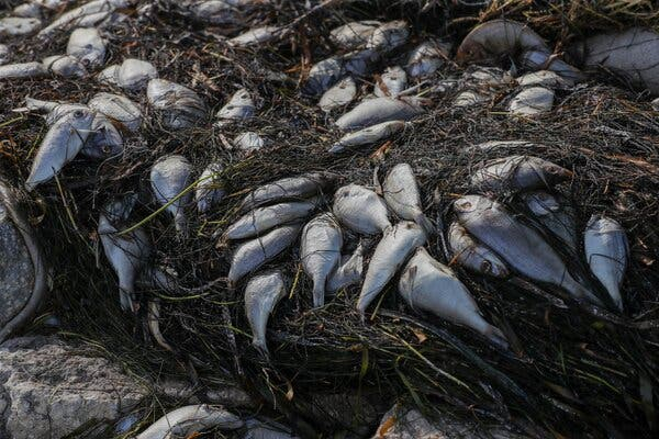 Dead fish from a red tide washed up along a waterfront park in St. Petersburg, Fla., this month.