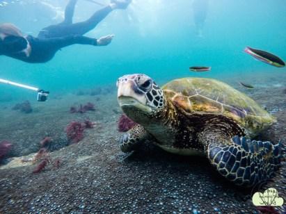 Turtle .
