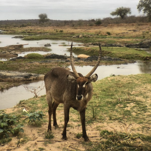 Waterbuck antelope, Wolhuter Wilderness Trail, Kruger National Park, South Africa