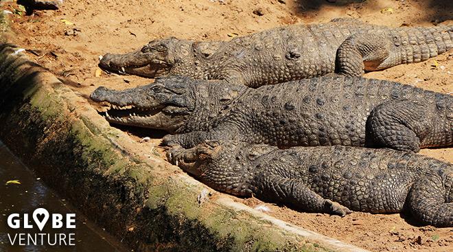 Gemütliches Sonnenbad - Madras Crocodile Bank