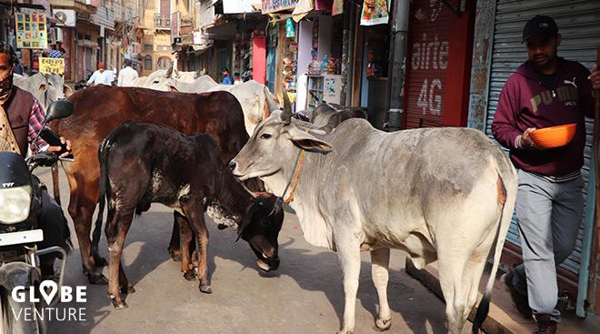 heilige Kühe Jaisalmer