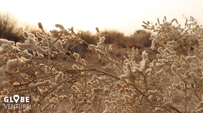 Faszinierende Pflanzenwelt rund um die Bungalows, jaisalmer, Wüste Thar
