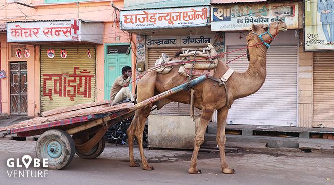 Kamele gehören hier ganz normal zum Stadtbild Bikaner