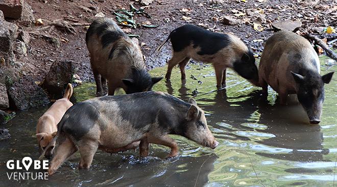 Indien Schweine Straße