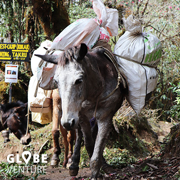 Nepal, Mardi Himal Trek, Mule