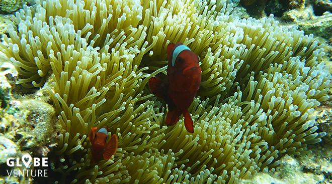 Bunaken Unterwasserwelt Clownfisch