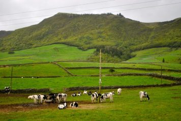 The dairy farms of Terceira Island.
