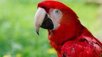 O que significa quando você vê um pássaro vermelho? Simbolismo e significado