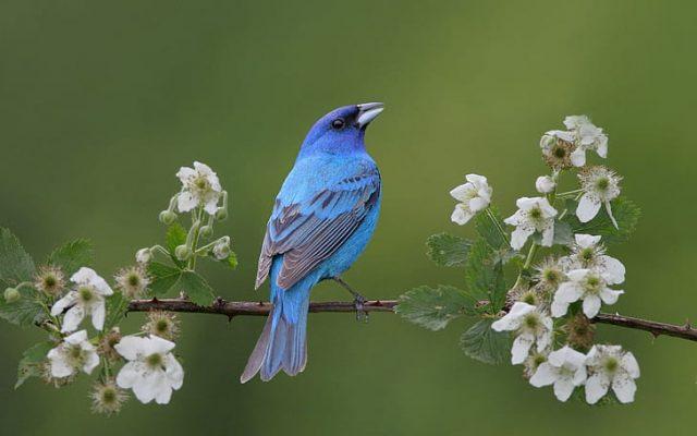 O que significa quando você vê um pássaro azul? 8 significados especiais