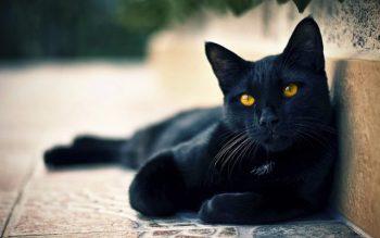 O que significa quando você vê um gato preto?