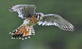 O que significa quando você vê um falcão: 4 coisas para verificar