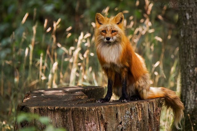O que significa quando uma raposa cruza seu caminho?