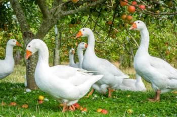 Simbolismo, sonhos e mensagens do ganso