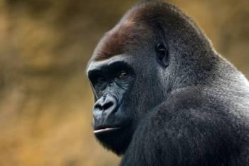 Simbolismo, significado e o animal do espírito do gorila