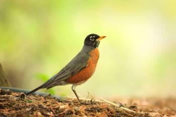 O Animal do Espírito Robin – Um guia completo de significado