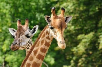 Simbolismo e significado da girafa