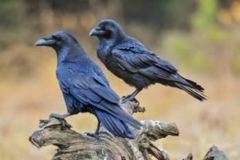 Simbolismo, significado e o animal do espírito do corvo