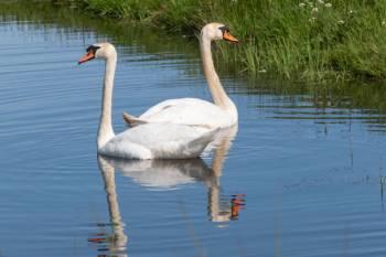 O que um animal espírito-cisne significa e simboliza?