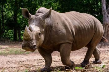 Simbolismo, sonhos e mensagens do rinoceronte