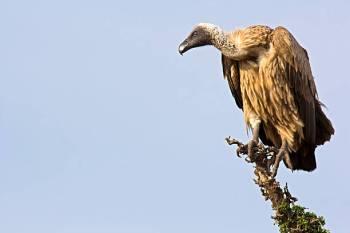 Simbolismo, sonhos e mensagens do abutre