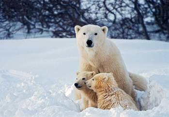 Simbolismo e significado do urso polar