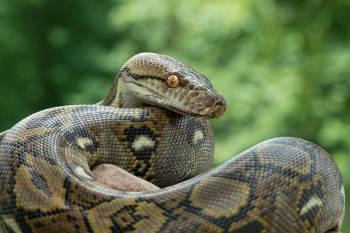 O que significa o Totem Animal do Espírito de Cobra?