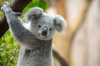 Simbolismo e significado do urso coala