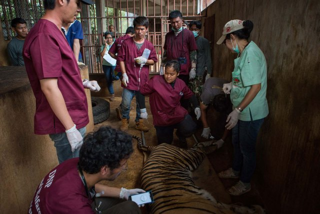 DNP veterinarians monitor tranquillised tigers and clip their nails before loading them into the trucks.