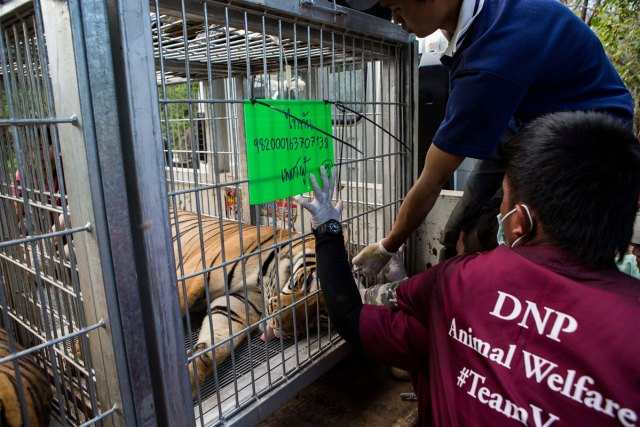 DNP veterinarians close the cage doors before the trucks leave the temple.