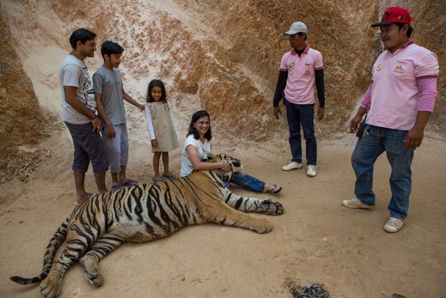 Tourists pose with tigers for photos. With an entrance fee of anything from 600 baht [$17] to 5,000 baht [$140] per person, millions of dollars have flowed into the temple over the years.