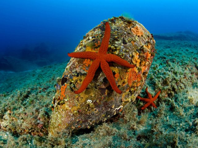 Red Sea Star Echinaster Sepositus On A Pen Shell Pinna Nobilis Secca Delle Secche Giglio Island Tuscany Archipelago Tuscany Italy Thyrrenian Sea Mediterranean Sea. (Photo by: Banfi Franco/AGF/UIG via Getty Images)