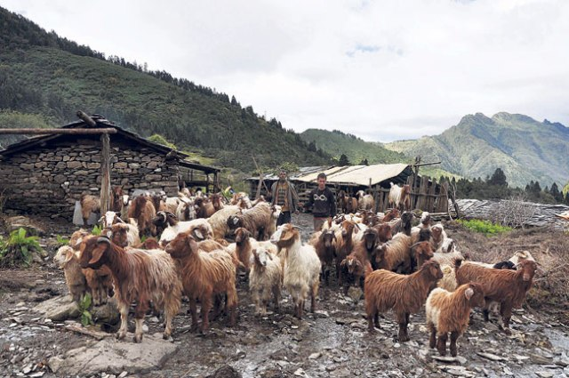 The inhabitants of Gurja VDC taking the sheep to graze on the meadows.