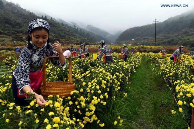 chrysanthemum-flowers5