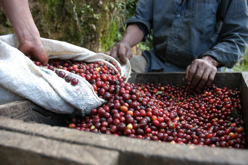 Conab estima aumento de 15% na safra de café do Brasil ante 2015