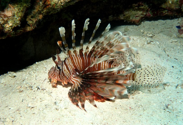 poisson lion mer rouge egypte