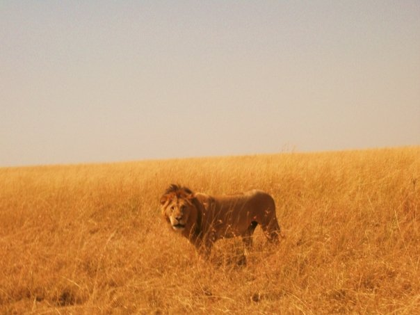 Sarah's Lion, from a recent trip to Kenya with