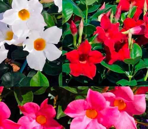 trio dipladenias fleuris