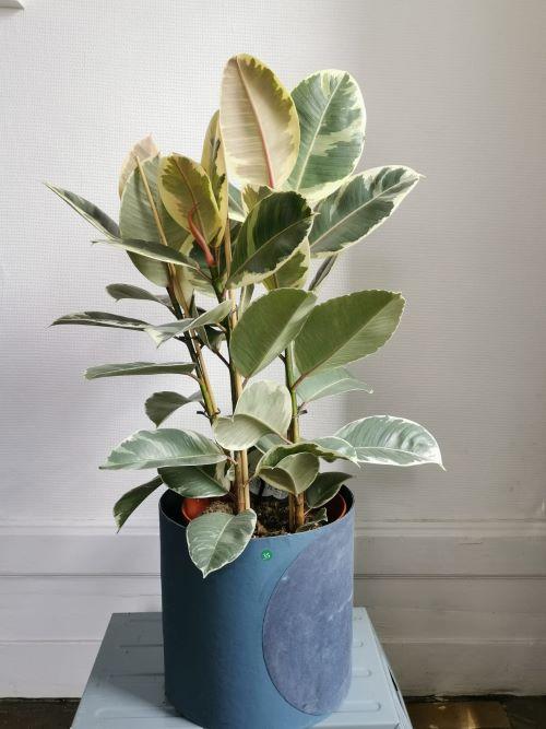 Ficus Tineke jardinerie lyon