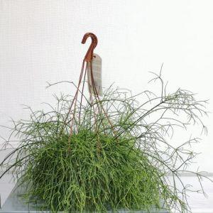 rhipsalis jardinerie lyon