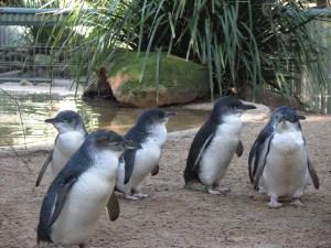 Featherdale wildlife park penguins