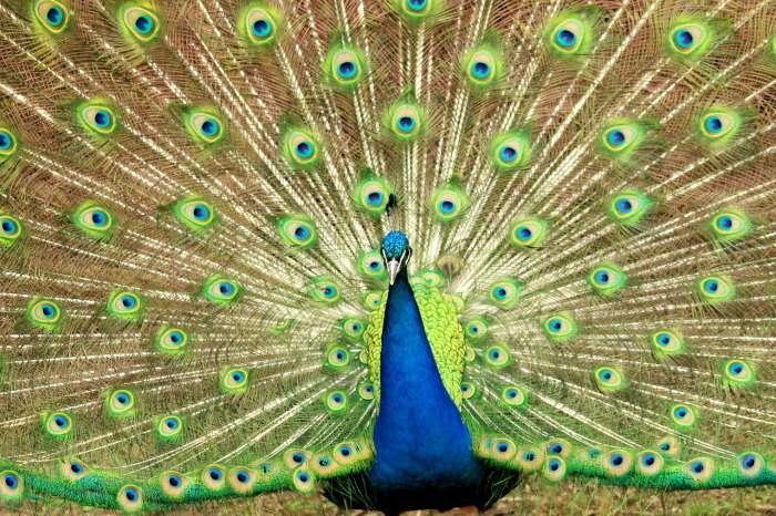 Peacock at kurumbapatty zoo salem