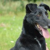 Szaki, czarny pies do adopcji, Poznań