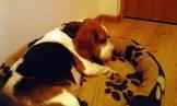 Benji w stałym domu