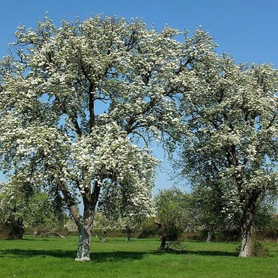 It's Spring! Perry Pears in bloom,. Picture from Mary Nelson