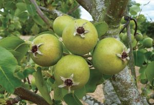 Early summer - orchard fruit is beginning to take shape