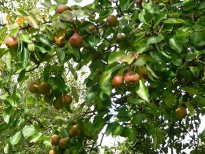 Mature Perry Pears