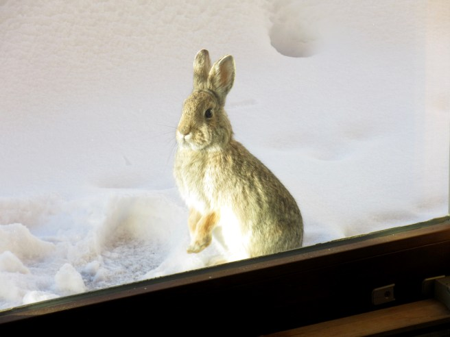 This rabbit showed up at the back door of Little House in the Rockies, right before dinner.  Maybe he likes paninis?