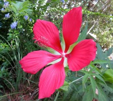 A red Texas Star Hibiscus