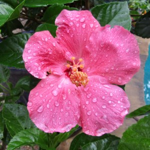Hibiscus after the rain